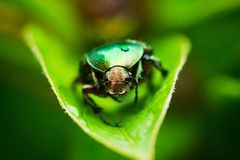 Cetonia bug on the green leaf. Selective focus. Shallow depth of field Royalty Free Stock Photos
