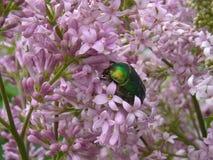 Cetonia ściga na lilych kwiatach Obrazy Royalty Free