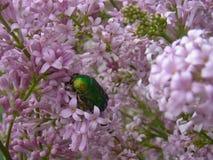 Cetonia ściga na lilych kwiatach Obraz Stock