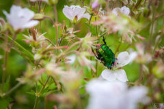 Cetoniaaurata eller gräsplanChaferskalbagge på ett blommablommafält Royaltyfria Foton