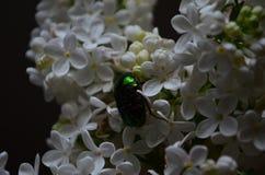 Cetoniaaurata eller Rose Chafer skalbagge p? blommorna av den vita lilan royaltyfria bilder