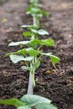 Cetrioli crescenti nel giardino con acqua Fotografie Stock