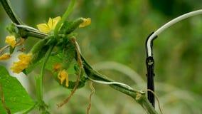 Cetrioli crescenti nella serra con il metodo di irrigazione a goccia video d archivio