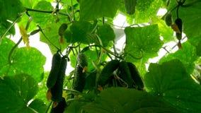 Cetrioli crescenti nella serra con il metodo di irrigazione a goccia L'approccio della macchina fotografica ai cetrioli video d archivio