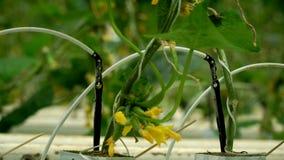Cetrioli crescenti nella serra con il metodo di irrigazione a goccia Movimento regolare della macchina fotografica video d archivio