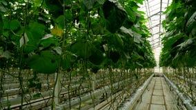 Cetrioli crescenti nella serra con il metodo di irrigazione a goccia Movimento regolare della macchina fotografica archivi video