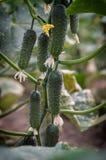 Cetrioli crescenti in serre Fotografia Stock Libera da Diritti