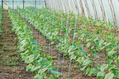 Cetrioli crescenti in serre con irrigazione a goccia Fotografie Stock Libere da Diritti