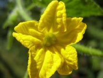 Cetrioli di fioritura e di maturazione Fotografia Stock