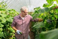 Cetrioli di raccolto dell'uomo anziano su alla serra dell'azienda agricola Fotografia Stock