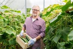 Cetrioli di raccolto dell'uomo anziano su alla serra dell'azienda agricola Fotografia Stock Libera da Diritti