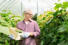 Cetrioli di raccolto dell'uomo anziano su alla serra dell'azienda agricola Fotografie Stock