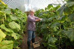 Cetrioli di raccolto dell'uomo anziano su alla serra dell'azienda agricola Immagine Stock Libera da Diritti