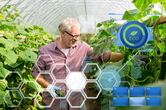 Cetrioli di raccolto dell'uomo anziano su alla serra dell'azienda agricola Immagini Stock