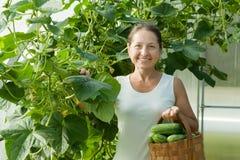 Cetrioli di raccolto della donna Immagine Stock