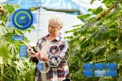 Cetrioli di raccolto della donna anziana su alla serra dell'azienda agricola Immagini Stock