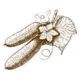 Cetrioli e fiore dell'incisione su un ramo su fondo bianco Fotografia Stock