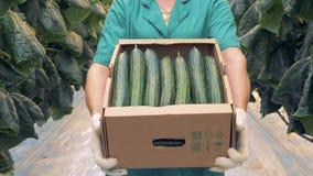 Cetrioli freschi in mani di un concetto di agricoltura di Modern dello specialista della serra stock footage