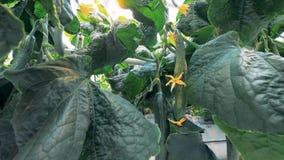 Cetrioli maturi sulle piante, fine su Le piante del cetriolo si sviluppano ad un'azienda agricola di verdure archivi video