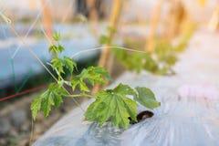Cetriolo amaro della piantina o zucca amara che cresce nell'azienda agricola di agricoltura della pianta del campo Fotografia Stock Libera da Diritti