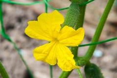Cetriolo della plantula con i fiori gialli Immagini Stock