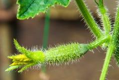 Cetriolo della plantula con i fiori gialli Fotografie Stock Libere da Diritti