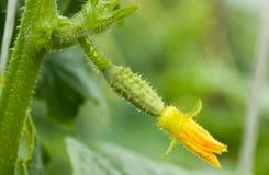 Cetriolo e fiore, macro Fotografie Stock