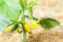 Cetriolo fresco, giovane, verde sul letto nel darden Cetrioli crescenti in giardino, agricoltura Fotografie Stock Libere da Diritti