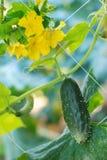 Cetriolo Gardenizing Fotografia Stock Libera da Diritti