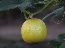 Cetriolo maturo fresco del limone fotografie stock libere da diritti