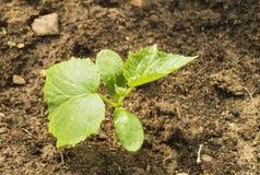 Cetriolo verde del germoglio su terra Fotografia Stock Libera da Diritti