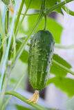 Cetriolo verde nella serra Immagini Stock Libere da Diritti
