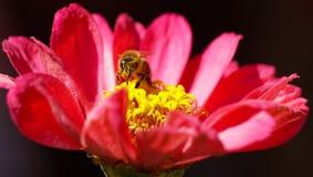 Cette abeille a une dépendance sérieuse de pollen images libres de droits
