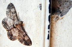 Cette mite brune et beige se mélange dedans bien, comme une autre puce dans le mur en béton peint Images libres de droits