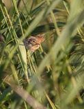 Cetti's Warbler Obrazy Royalty Free