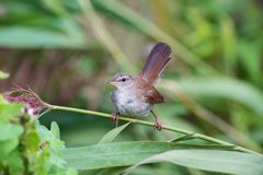 Cetti`s warbler in Branch royalty free stock photos