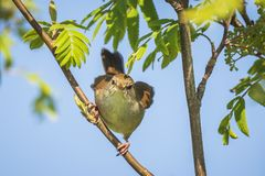 Cetti`s warbler, cettia cetti, bird singing and perched stock photography