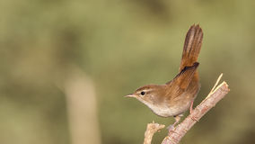 Cetti's Warbler Royalty Free Stock Image