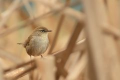 Cetti`s Warbler Cettia cetti sitting on the branch with beautiful background royalty free stock images
