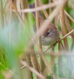 Cetti's Warbler face to face Royalty Free Stock Photography