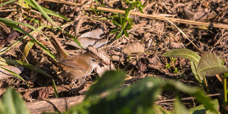 Cetti's Warbler on the ground stock images