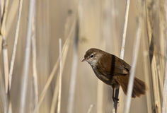 Cetti's Warbler. A Cetti's warbler is perching on a reed and looking around royalty free stock photo