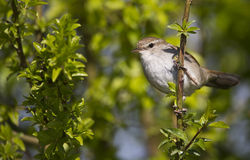 Cetti's Warbler. A Cetti's warbler is perching on a tree brach Royalty Free Stock Photos