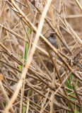 Cetti's Warbler in reed Royalty Free Stock Photo