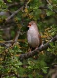 Cetti`s Warbler Singing With Gusto royalty free stock photography