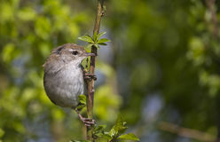 Cettis Warbler (Cettia cetti)
