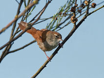 Cettis warbler Cettia cetti royalty free stock images