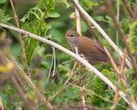 Cettis Warbler hiding in vegetation. A Cettis Warbler - Cettia cetti -hiding in dense vegetation in Southern Europe Stock Images