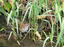 Cettis Warbler at a river bank Stock Photos