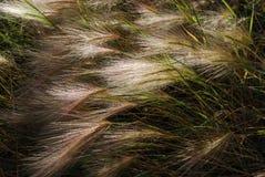 Cevada de Foxtail (jubatum do Hordeum) Fotografia de Stock Royalty Free